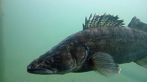 Pike perch underwater<br /> Fish (above and below the water; preferably no trophy pictures) Sebastian K